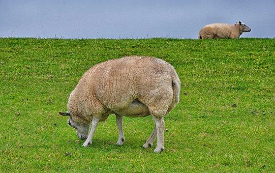 Sheep, Ameland, Island, Nature, Netherlands, Holland
