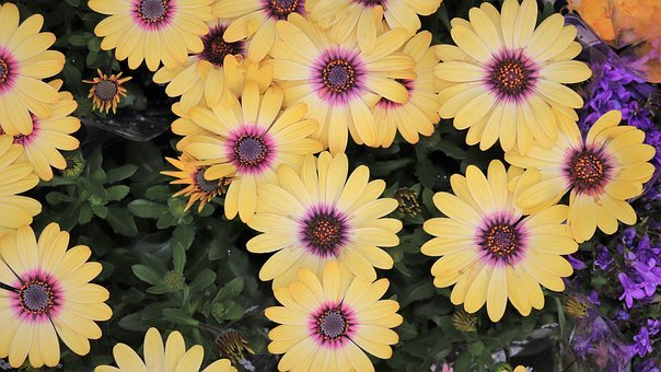 Chrysanthemum, Yellow Flower, Pattern, Strong, Yellow