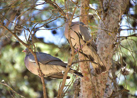 Birds, Pigeons, Pen, Nature
