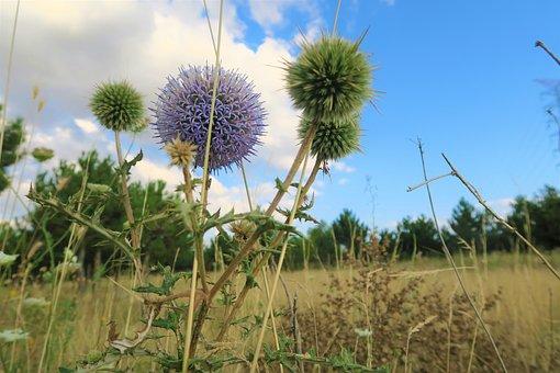 Herbs, Flower, Plant, Ot, Nature, Summer, Dea, Sky
