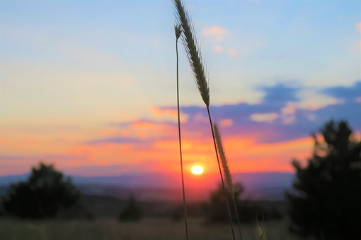 Spike, Sunset, Nature, Plant, In The Evening