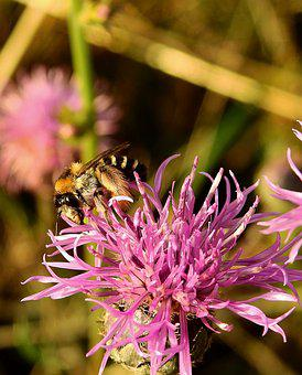 Bee, Pollination, Insect, Flower, Meadow
