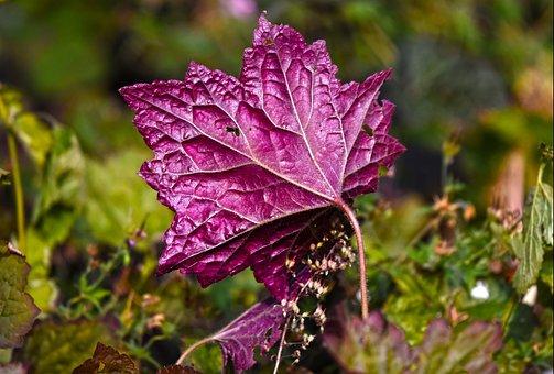 Leaf, Plant, Purple, Vein, Pattern, Nature, Garden