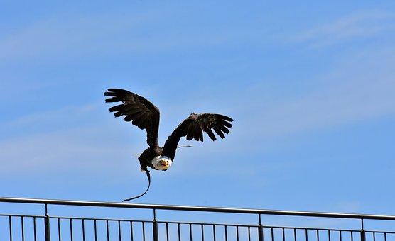 Adler, Bald Eagle, Flying, Bird, Raptor, Bird Of Prey