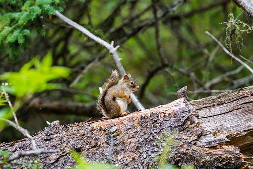 Squirrel, Mount, Troco