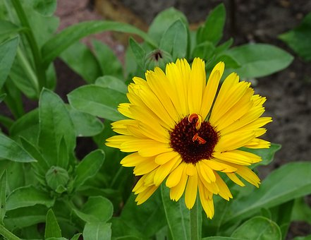 Marigold, Summer Flower, Edible, Blossom, Bloom