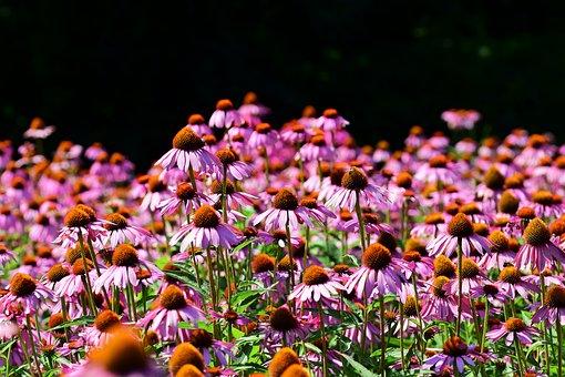Echinacea, Summer, Field, Flowers, Garden, Purple