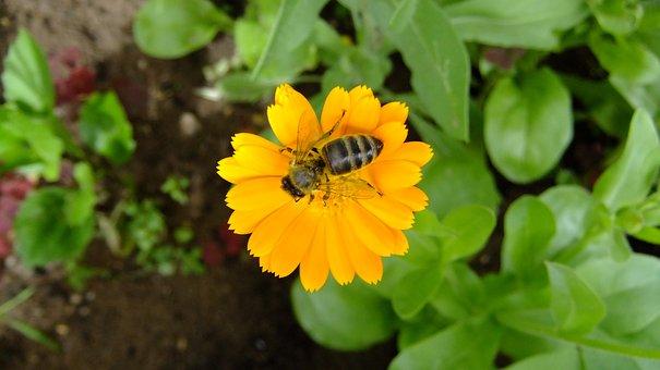 Calendula, Nature, Flowers, Summer, Bee
