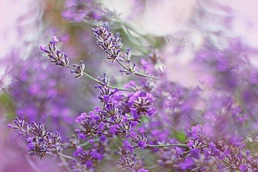 Lavender, Purple, Plant, Flowers, Nature, Summer