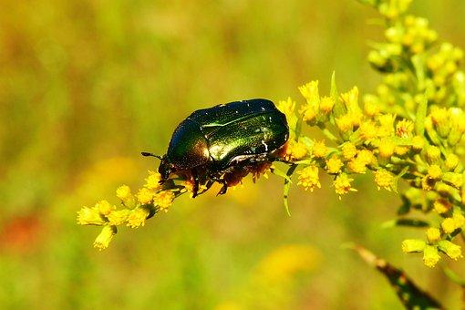 Kruszczyca Złotawka, The Beetles, Insect, Animals