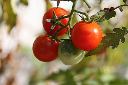 Tomato, Tomatoes, Own Tomatoes, Urban Gardening