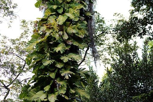 Monstera, Vines, Pot Flowers, Poisonous Plant, Plant