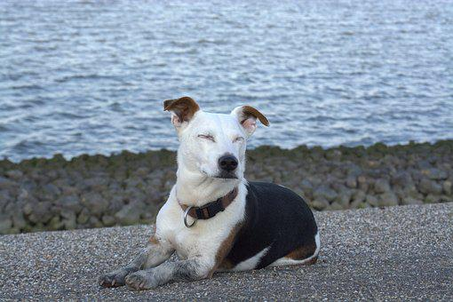 Peace Dog, Relaxed, Jack Russell, Watt Runner, Terrier