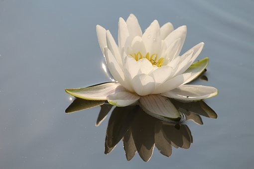 Water Lily, White, Blossom, Bloom, Pond, Water, Flower