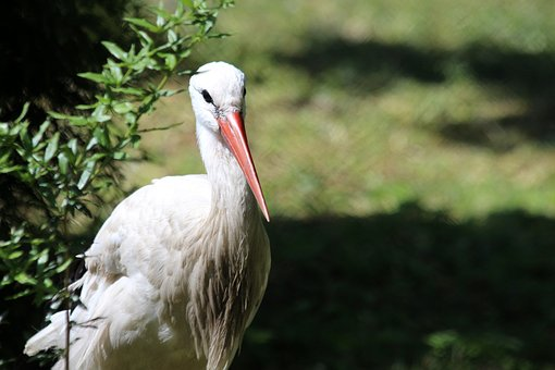 Stork, White Stork, Bird, Feathered Race, White