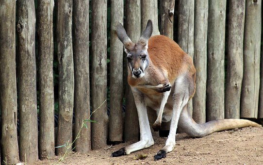 Kangaroo, Animal, Australia, Nature, Wildlife, Outdoors