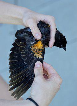 Bird, Wing, Blackbird, Yellow, Research, Feather, Black