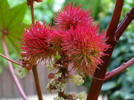 Wonder Tree, Castor Oil Plant, Spurge Family, Red