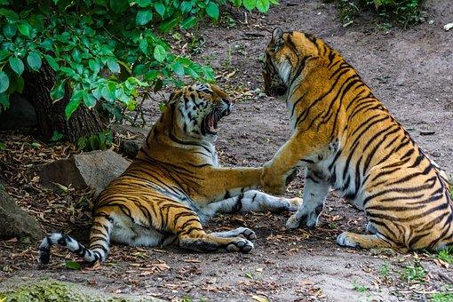Sumatran Tiger, Tiger, Big Cat, Dangerous, Zoo