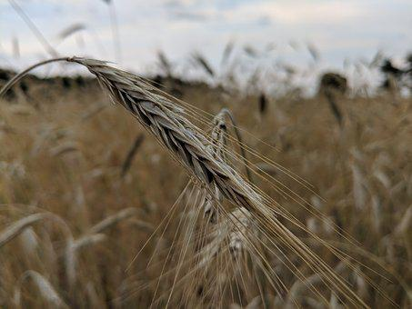 Corn, Kłos, Field, Agriculture, Harvest, Village