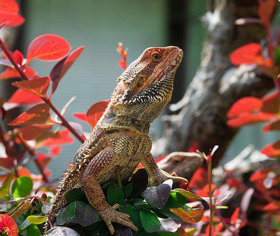 Lizard, Bearded Dragon, Reptile, Animal, Agame, Scale