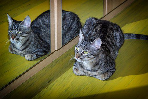 Cat, Pet, Mirroring, Mirror, Animal, Domestic Cat