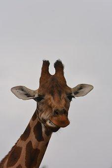 Giraffe, Head, Close Up, Zoo, Animal World, Wild Animal