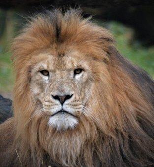 Lion, Lion Head, Predator, Animal World, Head, Wild