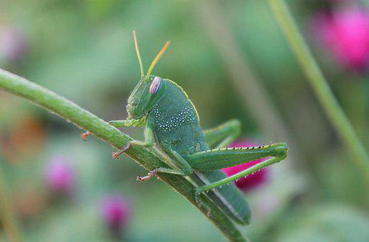 Insect, Grasshopper, Green, Antennas, Grasshoppers