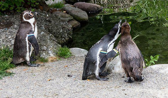Humboldt Penguin, Penguins, Animal, Animal World, Bird