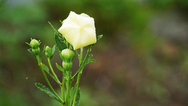 Bellflower, White, White Flowers, Blossom, Korea