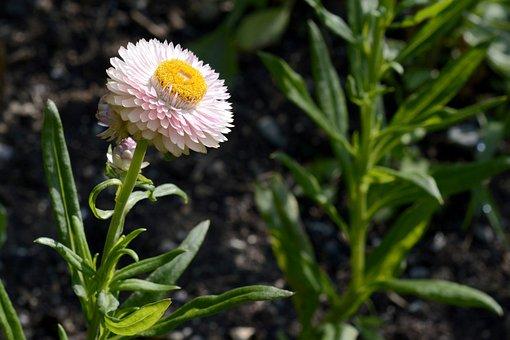 Wild Flower, Geese Flower, Flower, Plant, Blossom