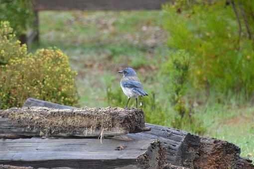 Blue Jay, Scrub Jay, California, Scrub-jay, Bird, Blue