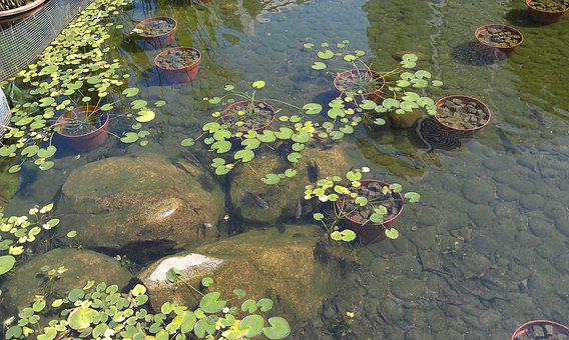 Pond, Body Of Water, Fish, Plants, Stones