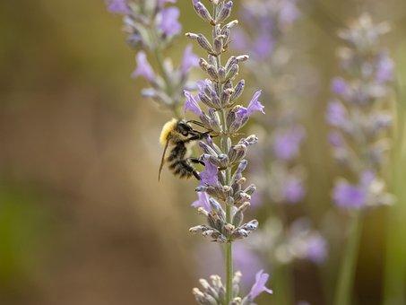 Bourdon, Fields, Insects, Bombus Pascuorum, Prairie