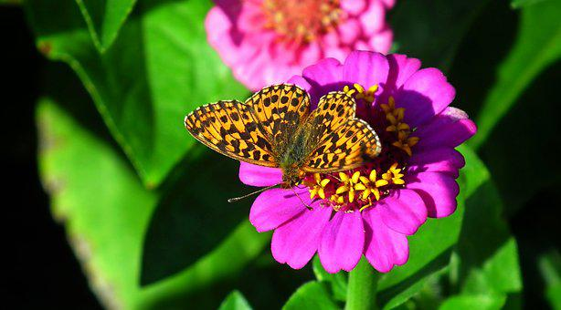 Butterfly, Insect, Nature, Flower, Macro, Wings, Summer