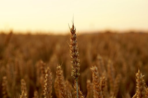 Cereals, Wheat, Nature, Seeds, Harvest Field