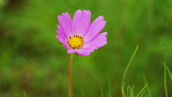 Cosmos, Pink, Flowers, Autumn, Landscape, Nature