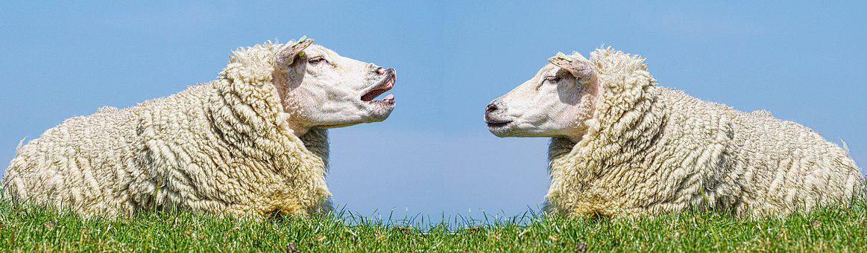 Sheep, Communication, Discuss, Dispute, Talk, Cheeky