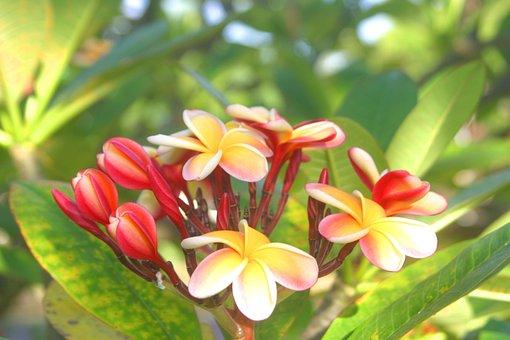 Plumeria, Flowers, Nature, Exotic, Hawaii, Flora