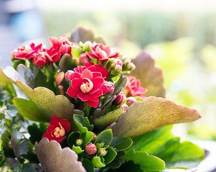 Flaming Käthchen, Flower, Plant, Kalanchoe, Flora