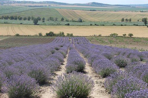 Lavender, Summer, Nature, Purple, Flowers, Garden