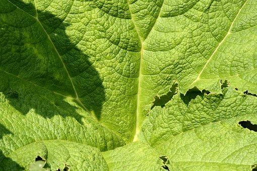Mammoth Sheet, Leaf, Green, Giant Rhubarb
