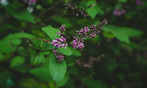 Nature, Flowers, Garden, Green, Summer, Fragrant, Lilac