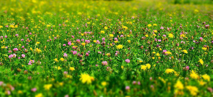 Meadow, Flower Meadow, Wild Flowers, Growth, Summer
