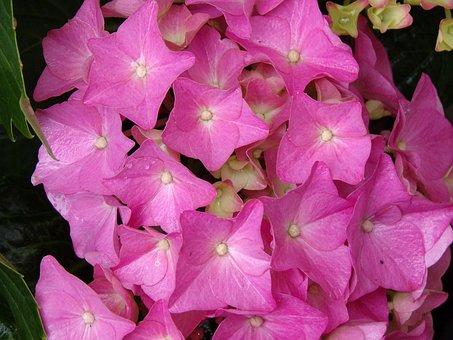 Hydrangea, Flower, Nature, Pink, Petals, Garden