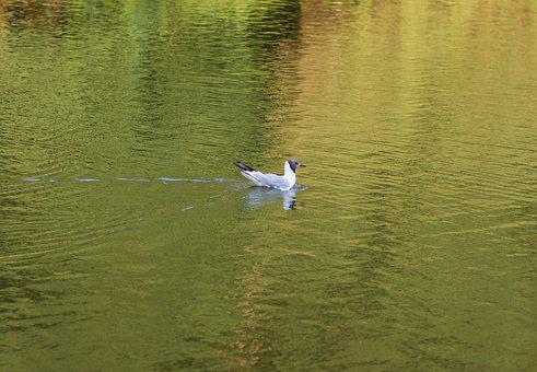 Seagull, Seagull śmieszka, Water, Gold, Park, Lake
