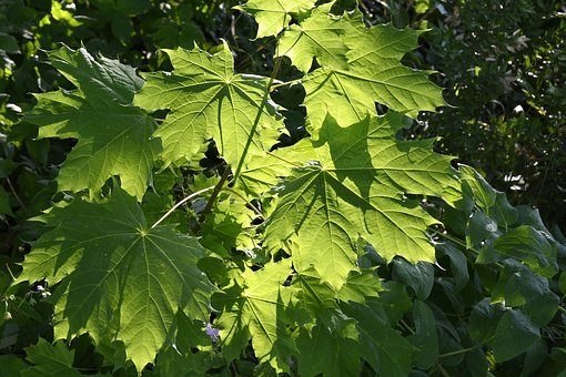 Vine Leaves, Plant, Leaf, Nature, Green, Climber Plant