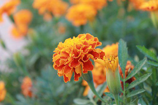 Marigold, Plant, Blossom, Nature, Yellow, Blooming