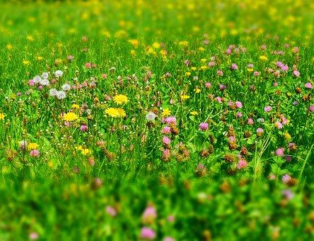 Meadow, Flower Meadow, Wild Flowers, Growth, Summer